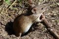 На Харківщині миші заселяють 68% посівів озимої пшениці