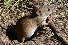 Перехід на no-till на півдні України збільшив популяції мишей