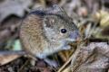 Чисельність мишей на полях Харківщини почала скорочуватись
