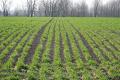 «Агротрейд» увів у сівозміну озиме жито