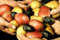 Різнокольорову картоплю упаковують в преміальні коробки
