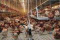 За вирощування курчат на пластиковій підлозі можна зменшити вентиляцію на 10-15%