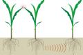 Вчені дали рослинам «голос» для інформування фермерів про поширення хвороб на посівах