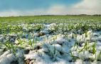 Морози можуть зашкодити озимим за недостатнього снігового покриву, – науковці