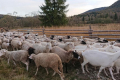 Україна експортуватиме дрібну рогату худобу до Кувейту