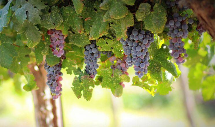 Горизонтальне ведення винограду збільшує продуктивність та якість