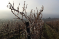 Вчені розповіли чому підмерзає виноград