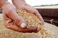 Зернові на елеваторах A.G.R. Group за день подорожчали на 100-300 гривень за тонну
