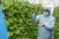 Зелень на аєропоніці росте удвічі швидше, а урожай у 3-5 разів вищий