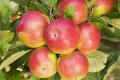 Як регулювати забарвлення яблук