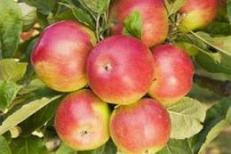 Помірний ріст яблунь сприяє регулярному плодоношенню
