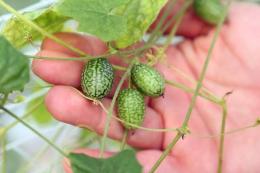 У Туреччині почали вирощувати 5-грамові бебі кавуни зі смаком огірка