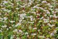 Посіви гречки у міжряддях садів – ризиковані