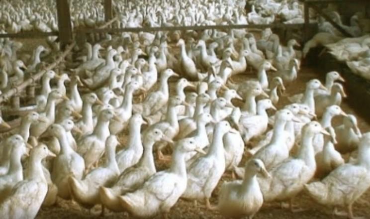 Які обсяги жирів можна вводити в раціон птиці