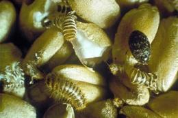 Є потенційна загроза занесення в Україну небезпечного карантинного шкідника