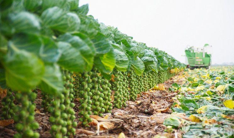 З рослин брюссельської капусти можна робити папір