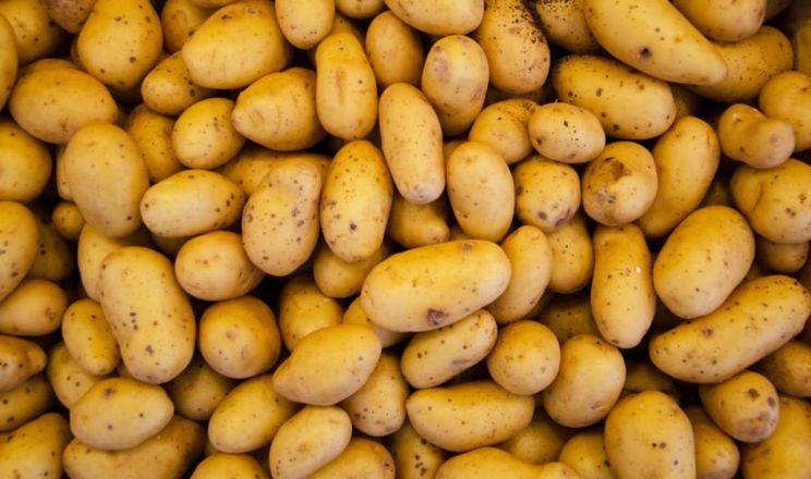 За відсутності поливу фермери зосередяться на якості картоплі