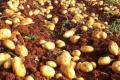 Названа причина постійного скорочення площ під картоплею