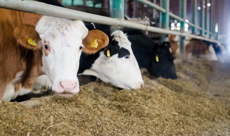 Для запобігання гіпокальціємії у корів треба скоригувати раціон