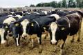 Dairy Global Experts поставила до Казахстану й Узбекистану понад 6 тис. голів племінної ВРХ