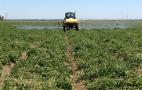 Томати відкритого ґрунту проти шкідників обробляють п'ять разів