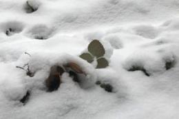 Суницю садову від сильних морозів укривають агроволокном