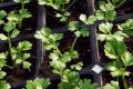 Фермер поділився технологією вирощування розсади черешкової селери