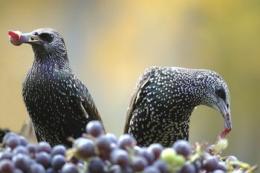 Серед птахів найбільше шкодять виноградникам шпаки