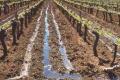 Заморозки на винограді допомагає переносити високий та глибокий штамб