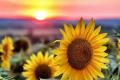 В MAS Seeds назвали гібриди соняшнику із високою врожайністю