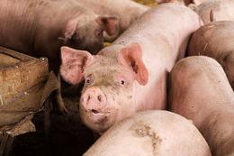 Перехід із гранульованого корму на розсипний може спровокувати аборти у свиноматок