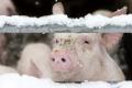 Узимку у свинарнику важливо мінімально використовувати вентиляцію