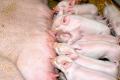 KSG Agro та швейцарська SUISAG домовилися про співробітництво у сфері племінної генетики свиней