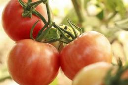 В Ізраїлі отримали стійкий до ToBRFV сорт томатів Lansor