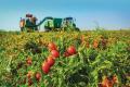 Фермер розповів як бореться зі шкідниками томатів