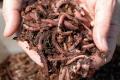 Для вермикомпостування на зиму варто створювати маточне поголів'я черв'яка, – фермер