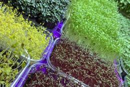 Замість ресторанів основними споживачами мікрозелені стали домогосподарства