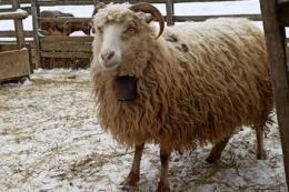 Поголів'я овець і кіз у 2020 році скоротилося на 5%