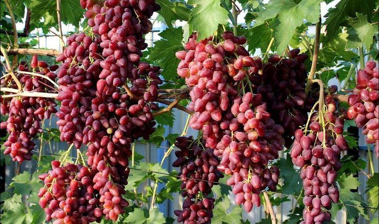 Кожні 7-11 років змінюють асортимент сортів винограду
