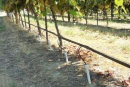 Виноградники на Одещині тримують утричі менше опадів, ніж у французькому Бордо