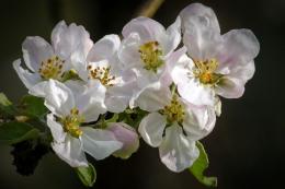 Для отримання красивих та смачних яблук принаджують комах-запилювачів та проріджують зав'язь