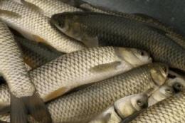 Україна у 2020 році наростила експорт живої риби на 37,5%