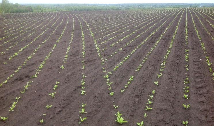 Технології сівби озимого ріпаку для успішного агробізнесу