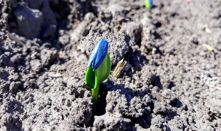 Що потрібно враховувати під час вирощування соняшнику, особливо в посушливих умовах