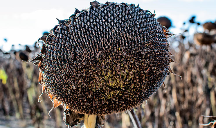 Урожайність соняшнику в KSG Agro в 2,5 раза вище, ніж торік