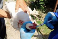 Інтраокулярна вакцинація – найефективніша у профілактиці респіраторних захворювань птиці