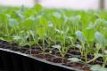 Розсаду капусти і томатів замочують в інсектициді за три доби до висаджування