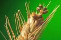Зросла загроза ураження озимини карликовою сажкою