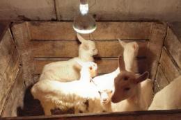 На Прикарпатті відкрили козину ферму