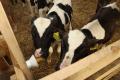 «Промінь» випоює новонародженим телятам молозиво, яке містить від 23% імуноглобулінів